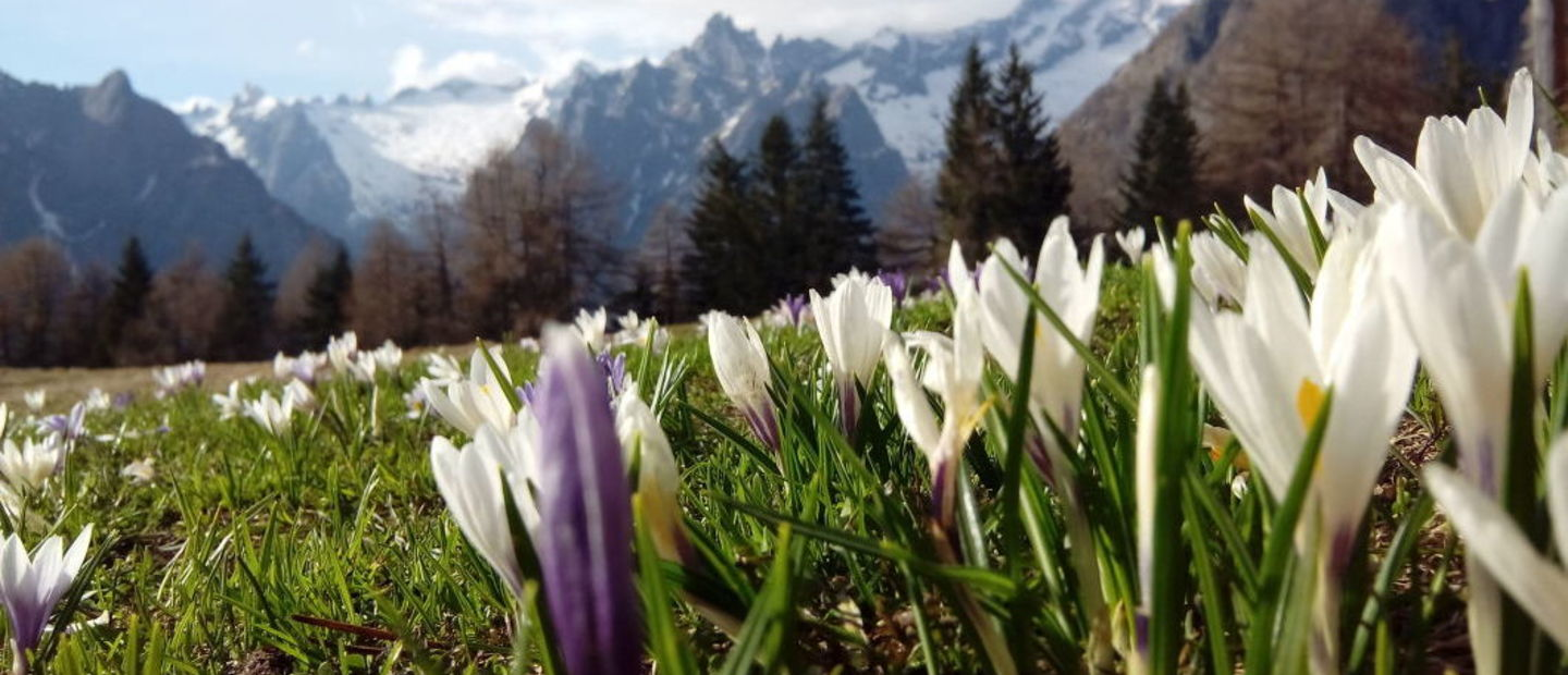 Crocus in alpe granda